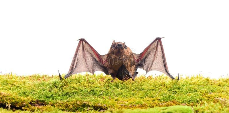 Forelimbs som anpassas som vingar Däggdjur som naturligt är kapabla av riktigt och tålt flyg Slagträet sänder ut det ultraljuds-  arkivbilder