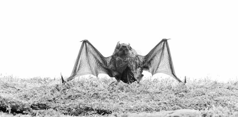Forelimbs som anpassas som vingar D?ggdjur som naturligt ?r kapabla av riktigt och t?lt flyg Slagtr?et s?nder ut det ultraljuds-  arkivbilder