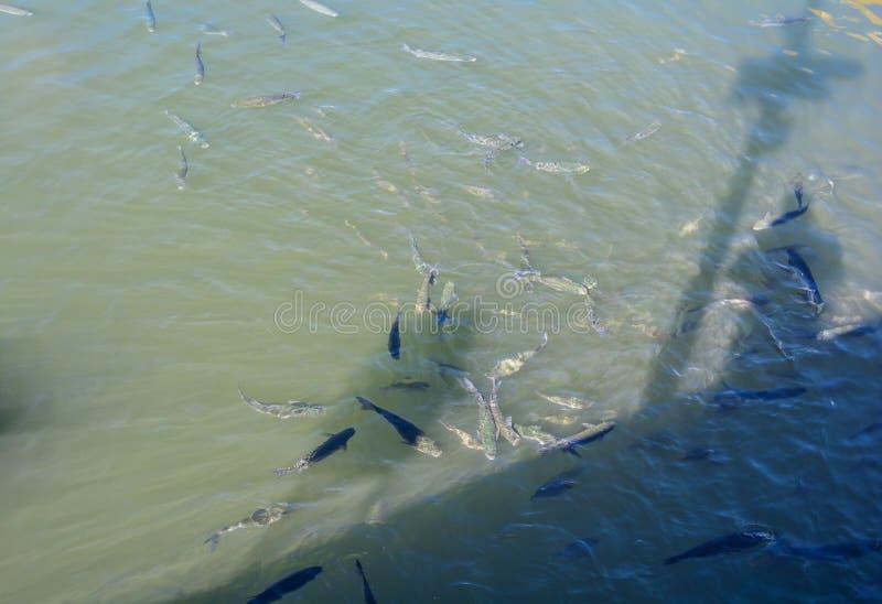 Forellen, die herum in den Yachten parken im Hafenyachtclub schwimmen stockfoto