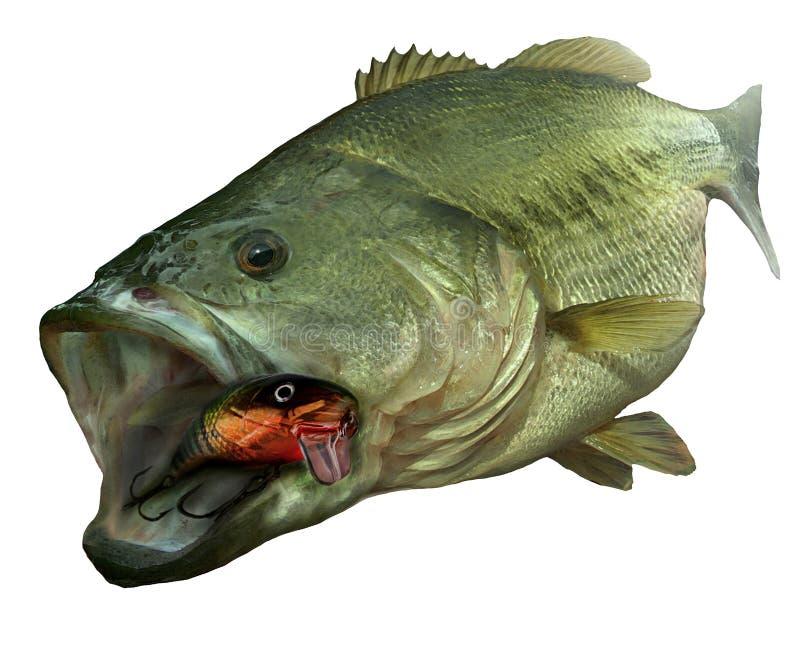 Forellenbarschfische mit Köder auf weißem backgorund stock abbildung