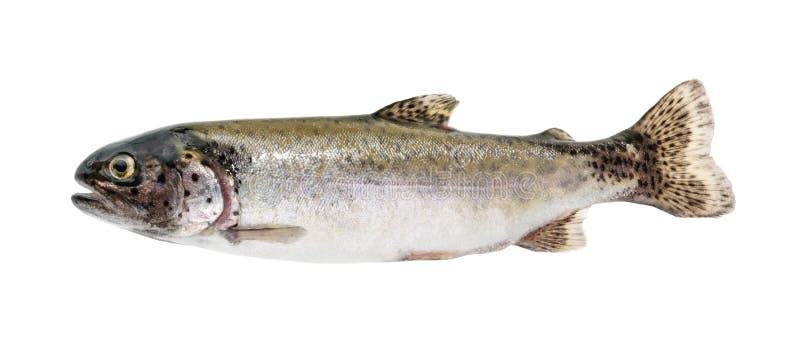 Forellenfische lokalisiert auf Weiß ohne Schatten lizenzfreie stockfotos