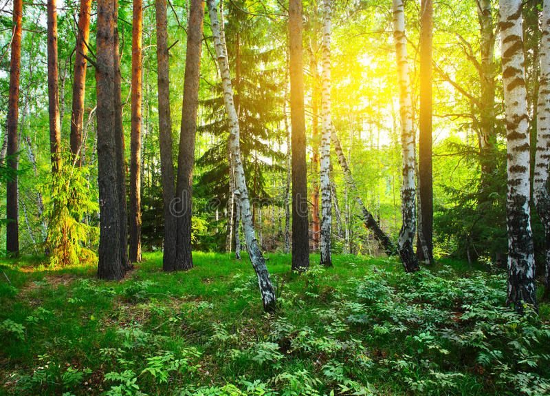 Download Forest stock photo. Image of green, nature, birch, rural - 16223246