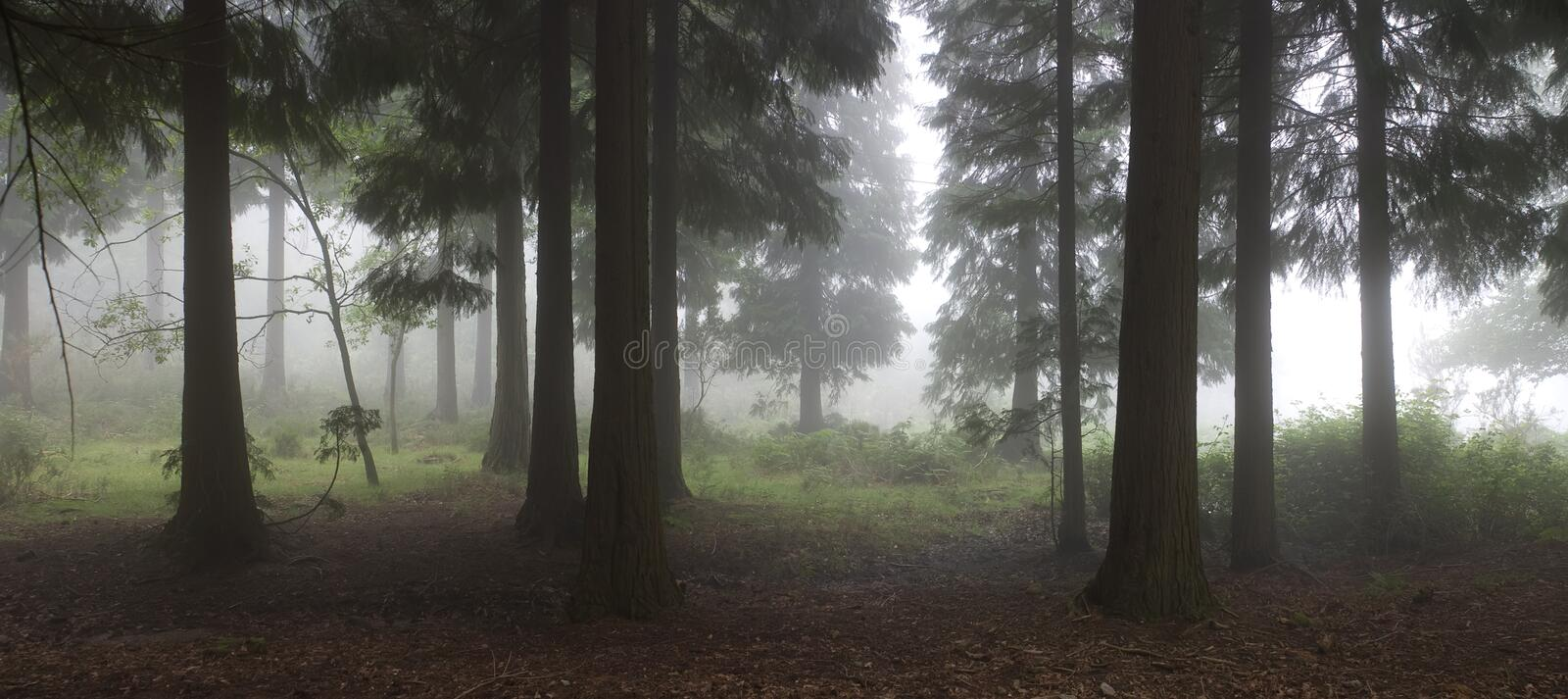 Forest royalty free stock image