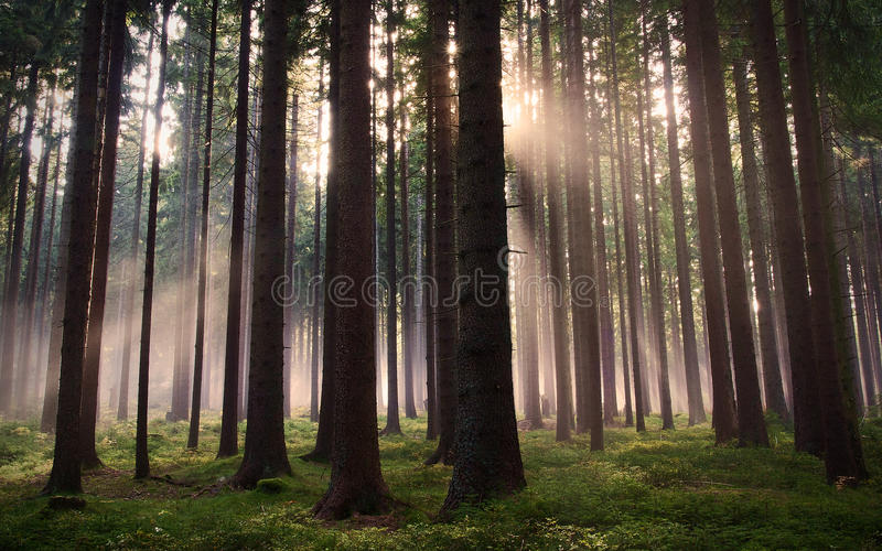 Download Forest stock image. Image of bark, nature, grass, rays - 25210633