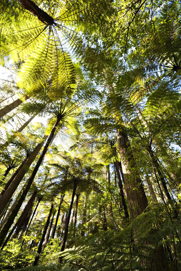 Download Forest stock photo. Image of zealand, view, angle, redwood - 25319706