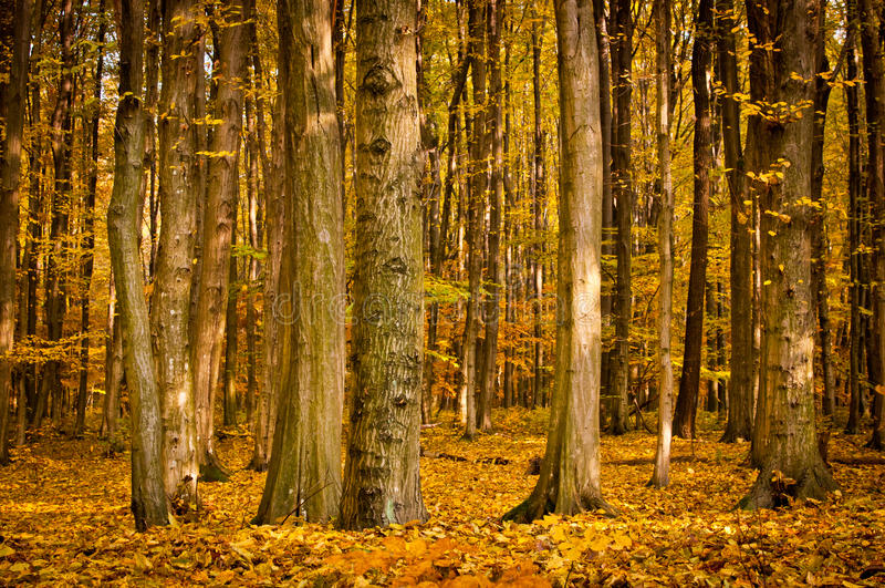 Download Forest stock image. Image of trunk, leaves, branches - 26812825