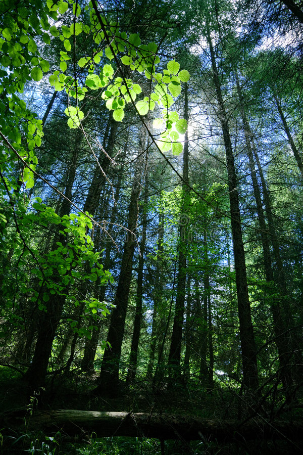 Free Forest Royalty Free Stock Photography - 2778427