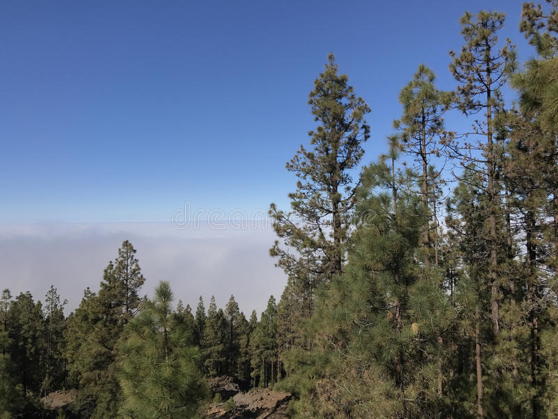 Forest above the clouds. At Teide National Park on Tenerife royalty free stock images