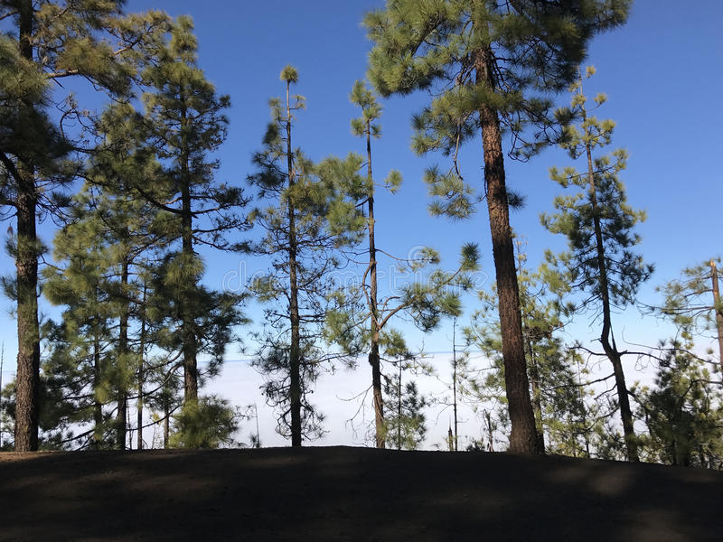 Forest above the clouds. At Teide National Park on Tenerife stock photo