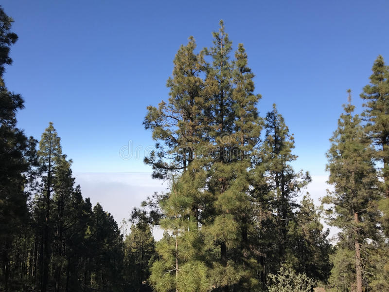 Forest above the clouds. At Teide National Park on Tenerife stock photography