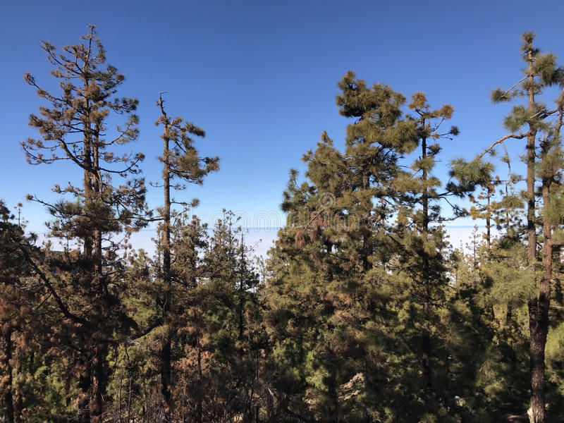 Forest above the clouds. At Teide National Park at Tenerife royalty free stock photo