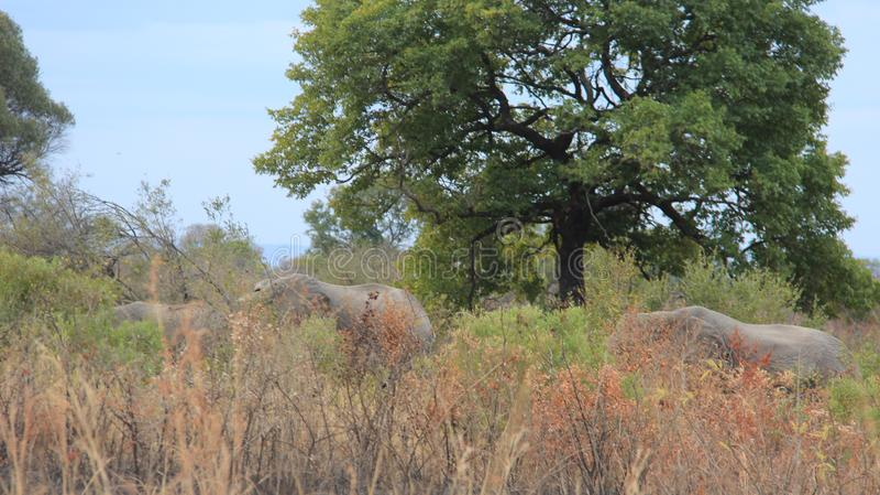Forest And Africa Wild Elephants royaltyfri foto