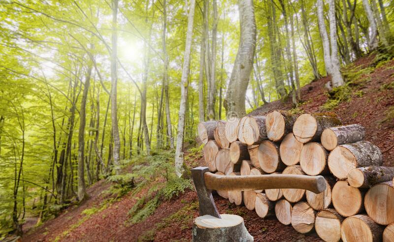 Forest alder and hornbeam trees. Log trunks pile with hatchet for chopping wood logs in front of timber. The logging timber wood industry. Wide banner of royalty free stock photography