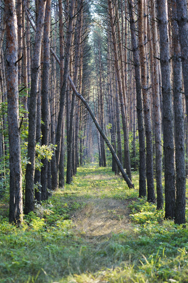 Download Forest Alley Stock Photos - Image: 26446973