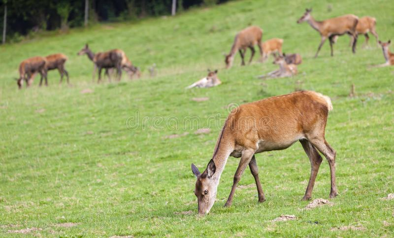 Forest animal, Styria, Austria. Antlers brown deer head eating enclosure environment europe european fur game reserve grass green majesty mammal national stock image