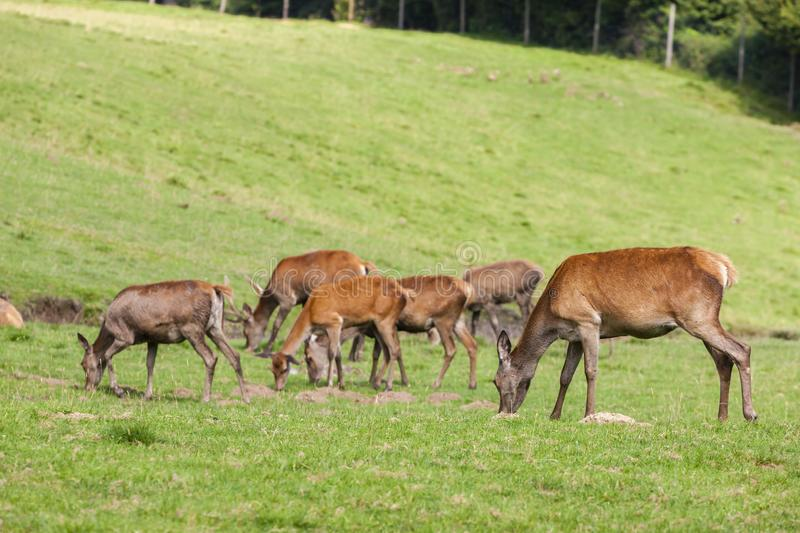 Forest animal in Styria, Austria. Antlers, brown, deer, head, eating, enclosure, environment, europe, european, fur, game, reserve, grass, green, majesty royalty free stock photo