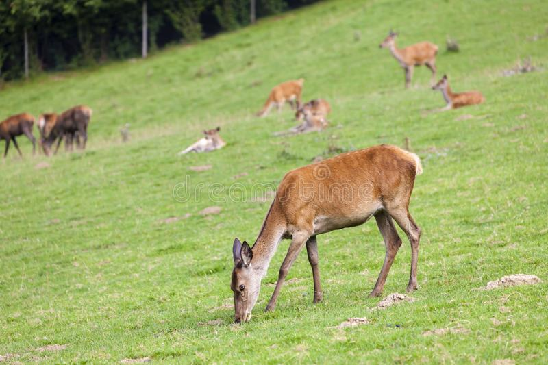 Forest animal in Styria, Austria. Antlers, brown, deer, head, eating, enclosure, environment, europe, european, fur, game, reserve, grass, green, majesty stock image