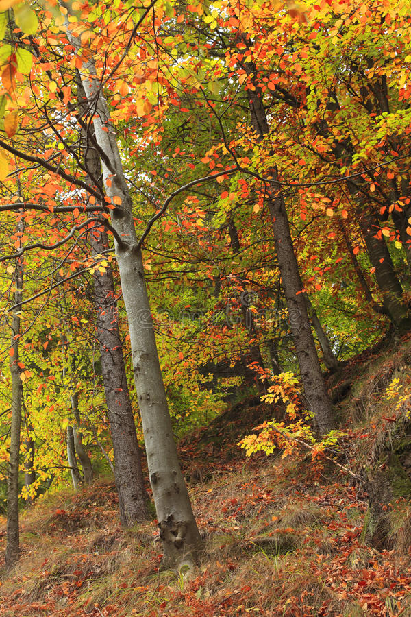 Download Forest in the autumn stock image. Image of season, seasonal - 12111091