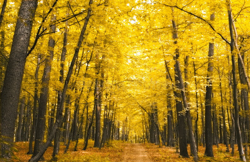 Forest in autumn. Nature. forest with yellow leaves in autumn royalty free stock photo