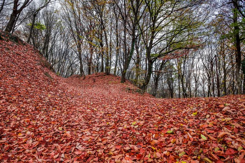 Forest autumn with fallen withered leaves orange on the ground stock photos
