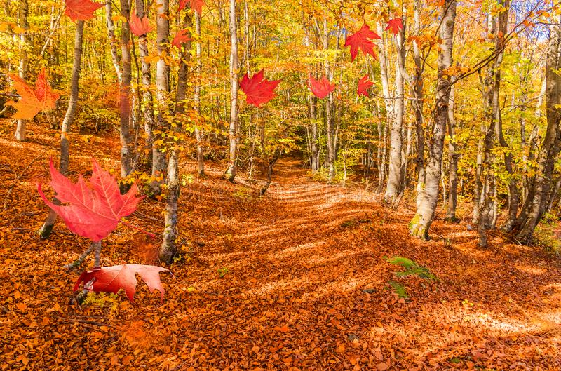 Forest in autumn falling leaves path for background stock photo