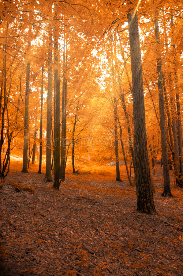 Forest in autumn with light beam stock images