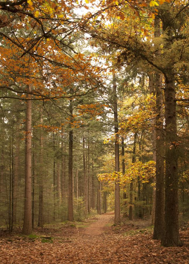 Forest in autumn, Veluwe, Holland stock image