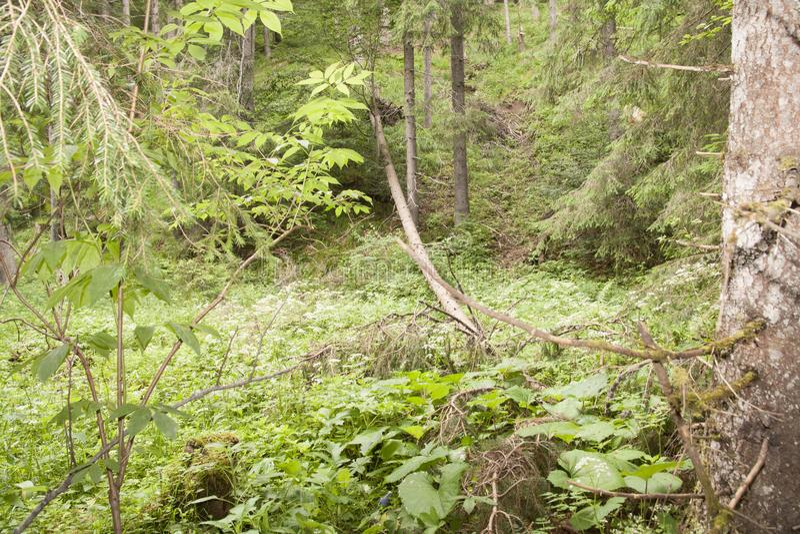 Forest Azuga photo libre de droits