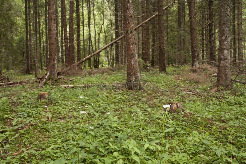 Forest Azuga photographie stock libre de droits