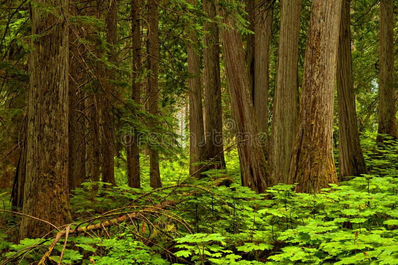Forest background in Mt Revelstoke National Park, British Columbia stock photos