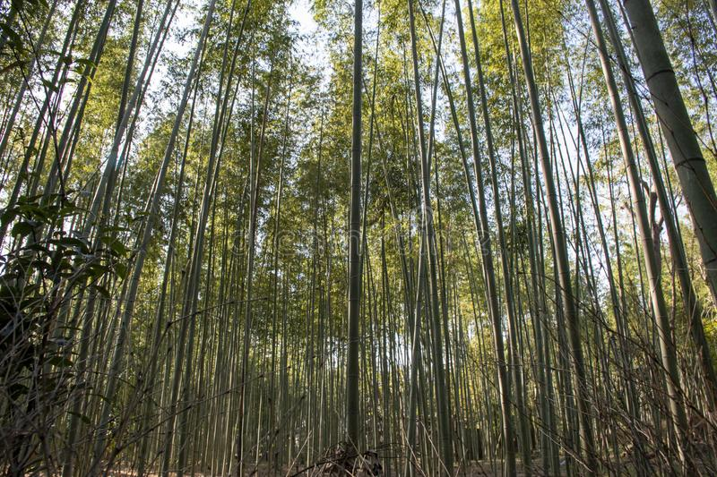Forest of bamboo is a great place to relax royalty free stock photography