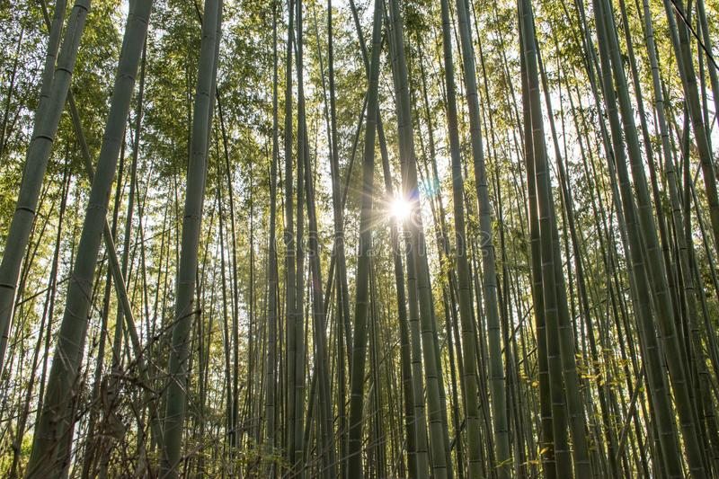 Forest of bamboo is a great place to relax royalty free stock photos