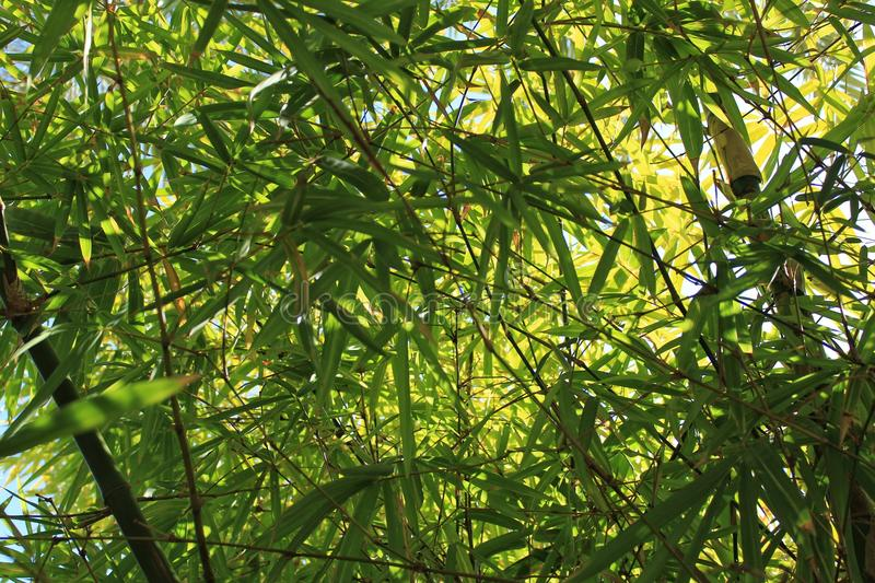 Forest of bamboo leaves. In the garden royalty free stock photo