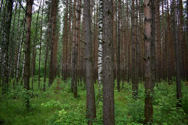 The forest is beautiful all year round heavy branches of fir trees fall straight trunks of pine royalty free stock images