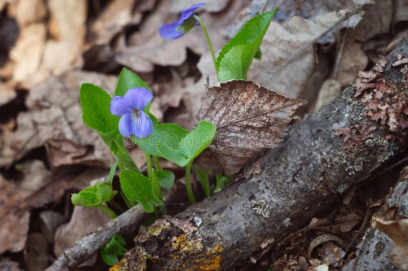 Forest beautiful blue violet flower in spring nature. Macrophotography wildlife.  stock image