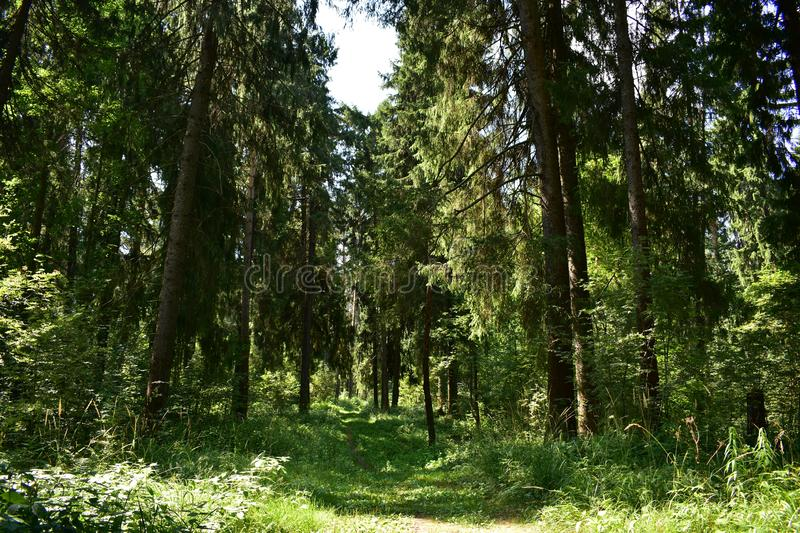 The forest is beautiful in the summer, when you go into it, then immediately change the mood royalty free stock photography