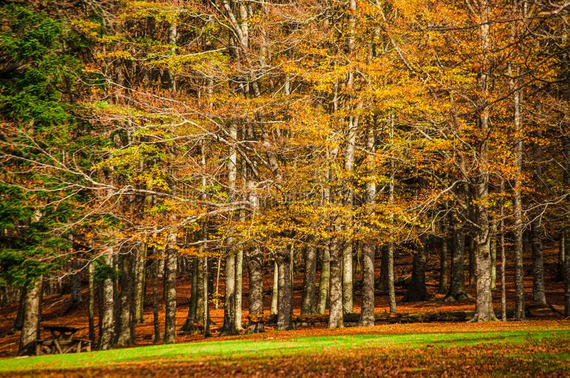 The forest of beech trees is amazing in autumn fall season colors stock photos