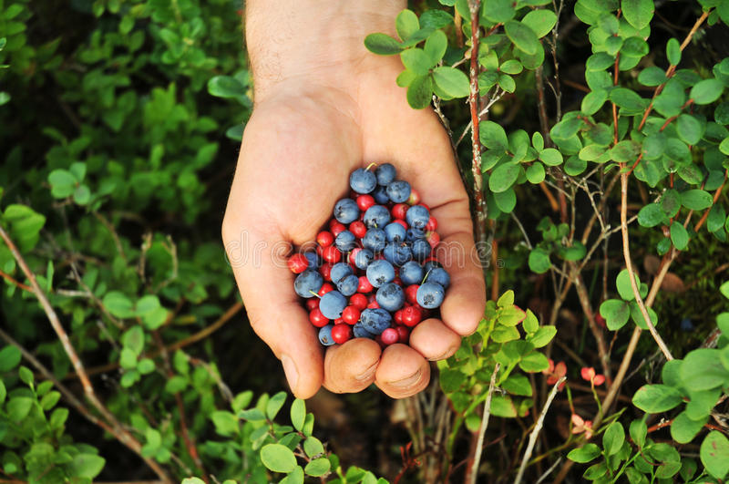 Forest berries stock photography