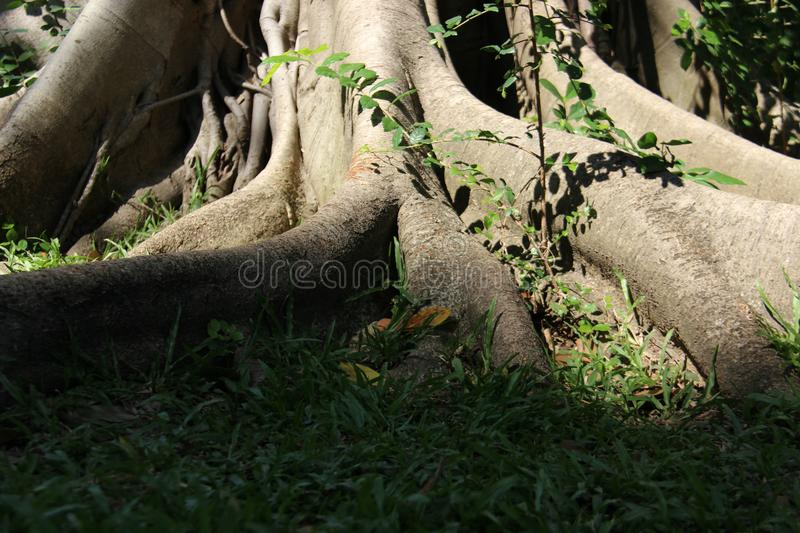 Forest And Big Tree Root images stock