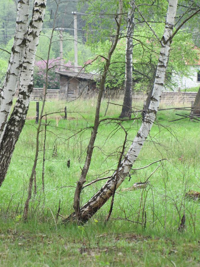 Forest and birches in front of the village,wooden fence ruins of the house and the barn. Forest and birches in front of the village,ruins of the house and the stock photography