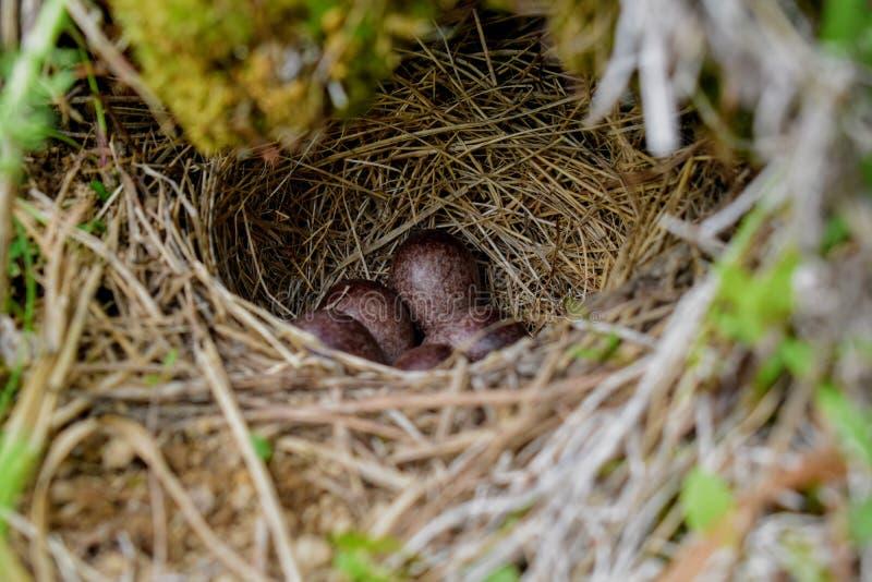 Forest Birds Nest Kamchatka Russia selvaggio fotografie stock libere da diritti