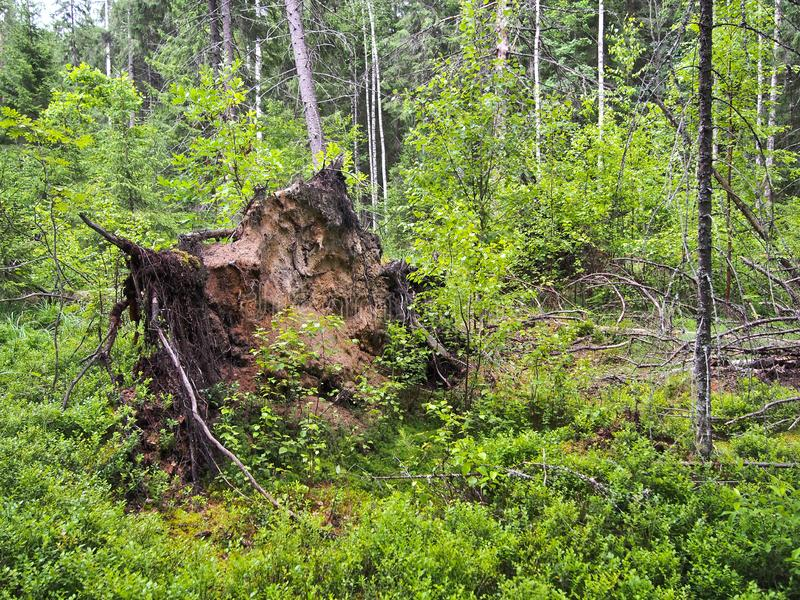 Forest blockage after the storm. Windbreak, hurricane, forest fires. Storm. Thicket. Uprooted trunks stock photos