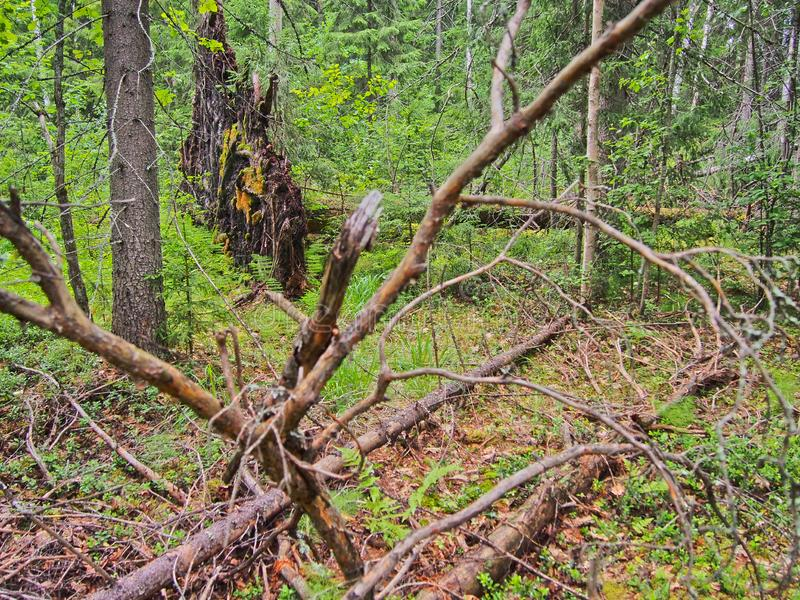 Forest blockage after the storm. Windbreak, hurricane, forest fires. Storm. Thicket. Uprooted trunks royalty free stock images