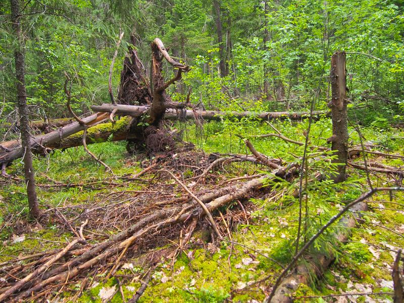 Forest blockage after the storm. Windbreak, hurricane, forest fires. Storm. Thicket. Uprooted trunks stock photography