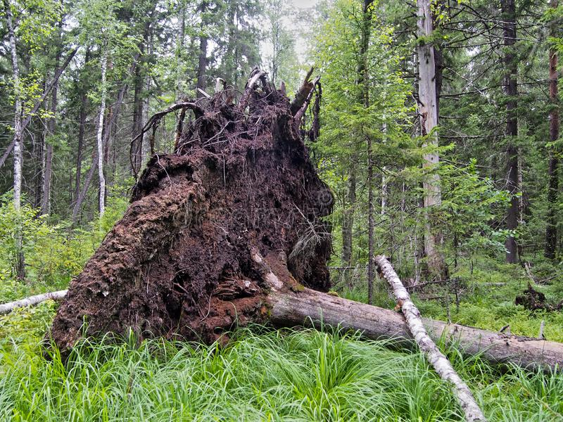 Forest blockage after the storm. Windbreak, hurricane, forest fires. Storm. Thicket. Uprooted trunks royalty free stock photography