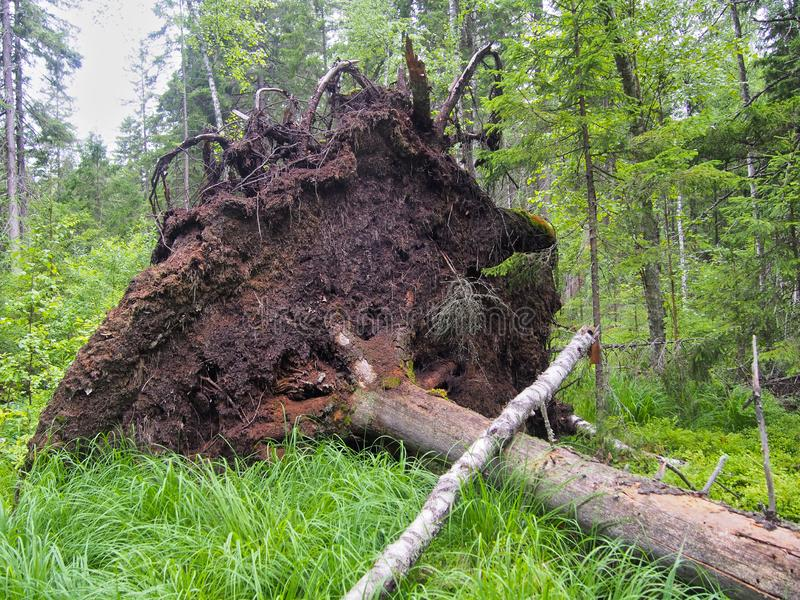 Forest blockage after the storm. Windbreak, hurricane, forest fires. Storm. Thicket. Uprooted trunks stock image