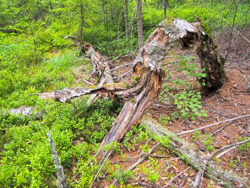 Forest blockage after the storm. Windbreak, hurricane, forest fires. Storm. Thicket. Uprooted trunks stock photo