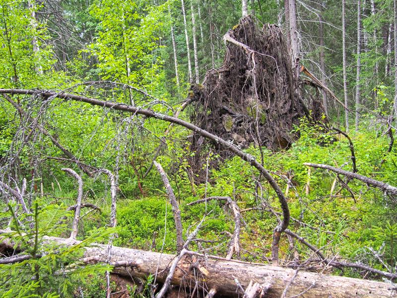 Forest blockage after the storm. Windbreak, hurricane, forest fires. Storm. Thicket. Uprooted trunks stock images