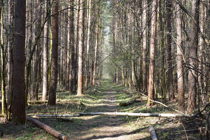 Forest blockage after a strong wind. Unassembled debris creates a fire situation and contributes to the reproduction of forest pests stock photo