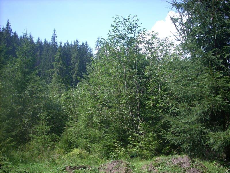 Forest Carpathian cárpato imagen de archivo libre de regalías